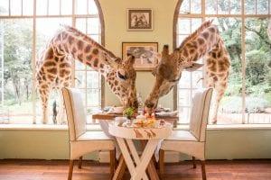 Усадьба жирафов - Giraffe Manor, Кения